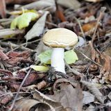 Boletus mushroom growing in a forest clearing.  Stock Image