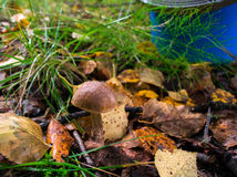 Boletus mushroom grows on a glade. In the autumn forest Royalty Free Stock Photography