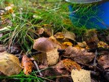 boletus mushroom grows on a glade Royalty Free Stock Photography