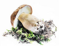 Boletus Mushroom Isolated Royalty Free Stock Image