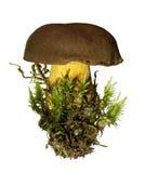 Boletus. Mushroom- boletus isolated on white Royalty Free Stock Photos