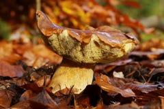 Boletus mushroom in the leaves. Boletus mushroom in the colored autumn leaves Royalty Free Stock Image