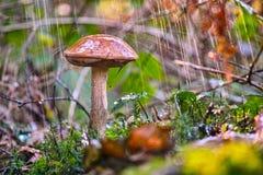 Boletus mushroom in the rain royalty free stock images