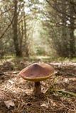 Boletus mushroom Suillus in Pinewood Stock Photos