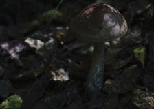 Boletus mushroom on a thin stalk.  Stock Photos