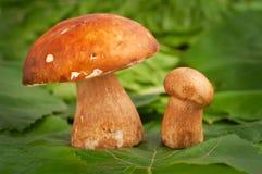 Boletus Mushrooms Stock Image
