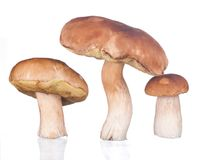 Boletus mushrooms Stock Photo