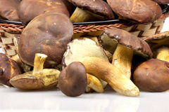 Boletus mushrooms Stock Image