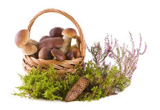 Boletus mushrooms in the basket Stock Images