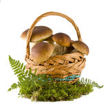 Boletus mushrooms in a basket Stock Image
