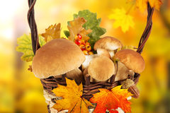Boletus mushrooms in a basket on wooden background Stock Photography