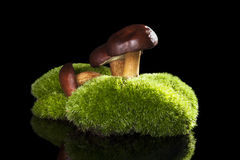 Boletus mushrooms. Stock Image