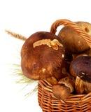 Boletus Mushrooms Royalty Free Stock Image