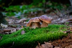 Boletus mushrooms on moss in the forest stock image