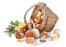 Boletus mushrooms in wicker basket Stock Image