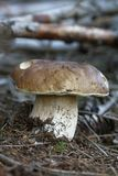 Boletus Stock Photo