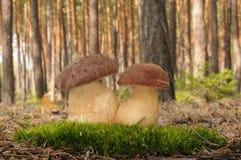 Boletus pinophilus fungus Royalty Free Stock Images