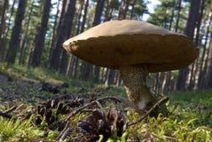 Boletus s'élevant dans la forêt Image stock