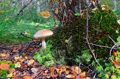 Boletus scaber (Leccinum scabrum) under the old birch Royalty Free Stock Photo