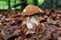 Boletus and slug Stock Photos
