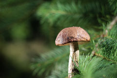 Boletus in the sunlight Royalty Free Stock Photos