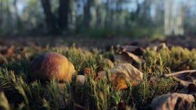 Boletus in una foresta soleggiata video d archivio