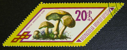 Boletus variegatus sow, circa 1978 Royalty Free Stock Photography