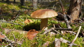 Boletus in the woods Royalty Free Stock Image