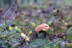 Boletus in the woods Stock Photo