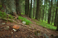 Boletuspilz im Wald Stockfotos