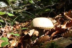 Boletuspilz oder -Steinpilz im Wald Lizenzfreie Stockbilder