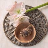 Bolgewassen en bloemhippeastrum Stock Foto