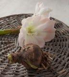 Bolgewassen en bloemhippeastrum (amarillis) Royalty-vrije Stock Foto's