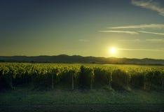 Bolgheri and Castagneto vineyard on sunset in backlight. Maremma Royalty Free Stock Photo