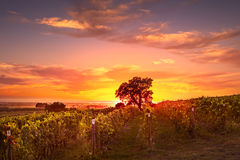 Bolgheri and Castagneto vineyard and tree on sunset in backlight Royalty Free Stock Images