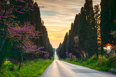 Bolgheri famous cypresses tree straight boulevard on sunset. Mar Stock Photography