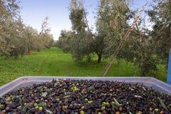 Bolgheri, Tuscany, olive harvest to produce the famous extra vir Stock Photo