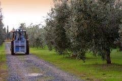 Bolgheri, Tuscany, olive harvest to produce the famous extra vir Stock Photos