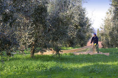 Bolgheri, Tuscany, olive harvest to produce the famous extra vir Stock Photos