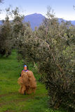 Bolgheri, Tuscany, olive harvest to produce the famous extra vir Royalty Free Stock Photo