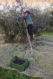 Bolgheri, Tuscany, olive harvest to produce the famous extra vir Royalty Free Stock Images