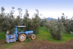 Bolgheri, Tuscany, olive harvest to produce the famous extra vir Royalty Free Stock Photo