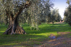 Bolgheri, Tuscany, olive harvest to produce the famous extra vir Royalty Free Stock Photos
