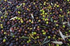 Bolgheri Tuscany, olivgrön skörd som producerar den berömda extrahjälpen vir Royaltyfri Bild