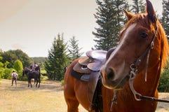 BOLGHERI, TUSCANY: WRZESIEŃ 27, 2008 - koń między lasami Obraz Royalty Free