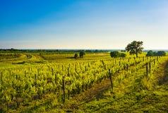 Bolgheri vineyard, trees and sea. Maremma Tuscany, Italy Royalty Free Stock Image