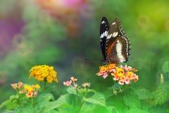 Bolina van Eggflyhypolimnas op Lantana-camarabloem met kleurrijke achtergrond Stock Foto's