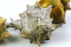 Bolinus brandaris, an edible marine gastropod Stock Image