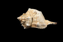 Bolinus brandaris (Linneo 1758). Picture of a seashell isolated on black background Royalty Free Stock Photography