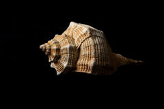 Bolinus brandaris (Linneo 1758). Picture of a seashell isolated on black background Royalty Free Stock Images